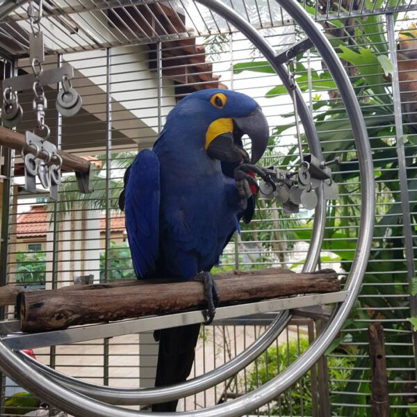 Buy Adorable Hyacinth Macaw Babies